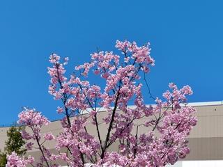 桜, a cherry blossoms