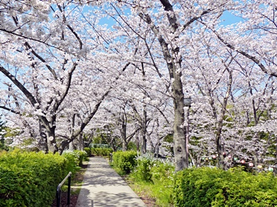 さくら公園の桜, cherry blossom street in Kyoto