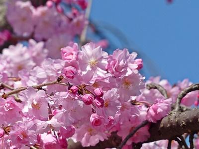 さくら公園のしだれ桜, weeping cherry trees in Kyoto