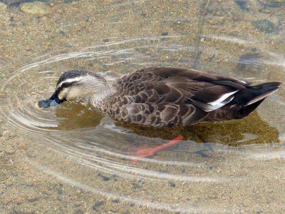 すんだ川で遊ぶ?カルガモ,spot-billed duck