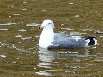 河口付近にいたウミネコさん,Black-tailed gull